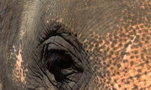 ช้างชรา